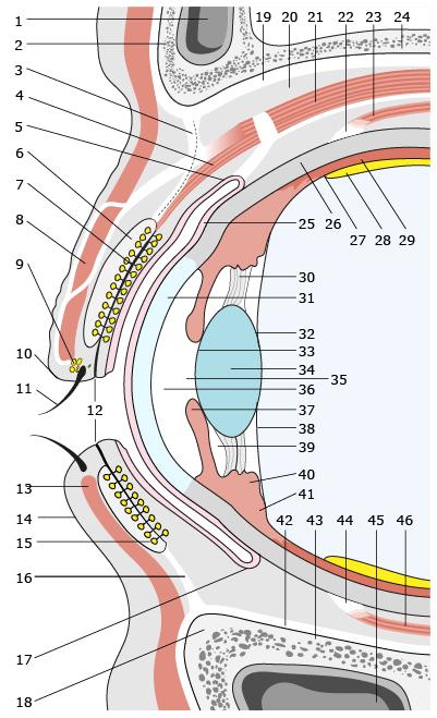 Budowa przedniego odcinka oka ipowieki