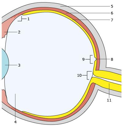 Budowa tylnego odcinka oka