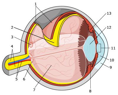 Budowa gałki ocznej