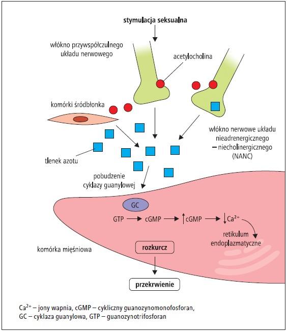 hormony i rano erekcje)