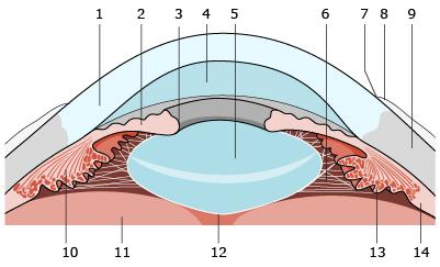 Budowa przedniego odcinka oka