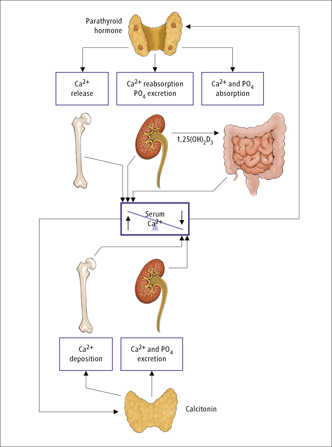 Figure 031_4_3486.  Physiological control of calcium metabolism by parathyroid hormone and its thyroid-produced counter, calcitonin.  Illustration courtesy of Dr Shannon Zhang.