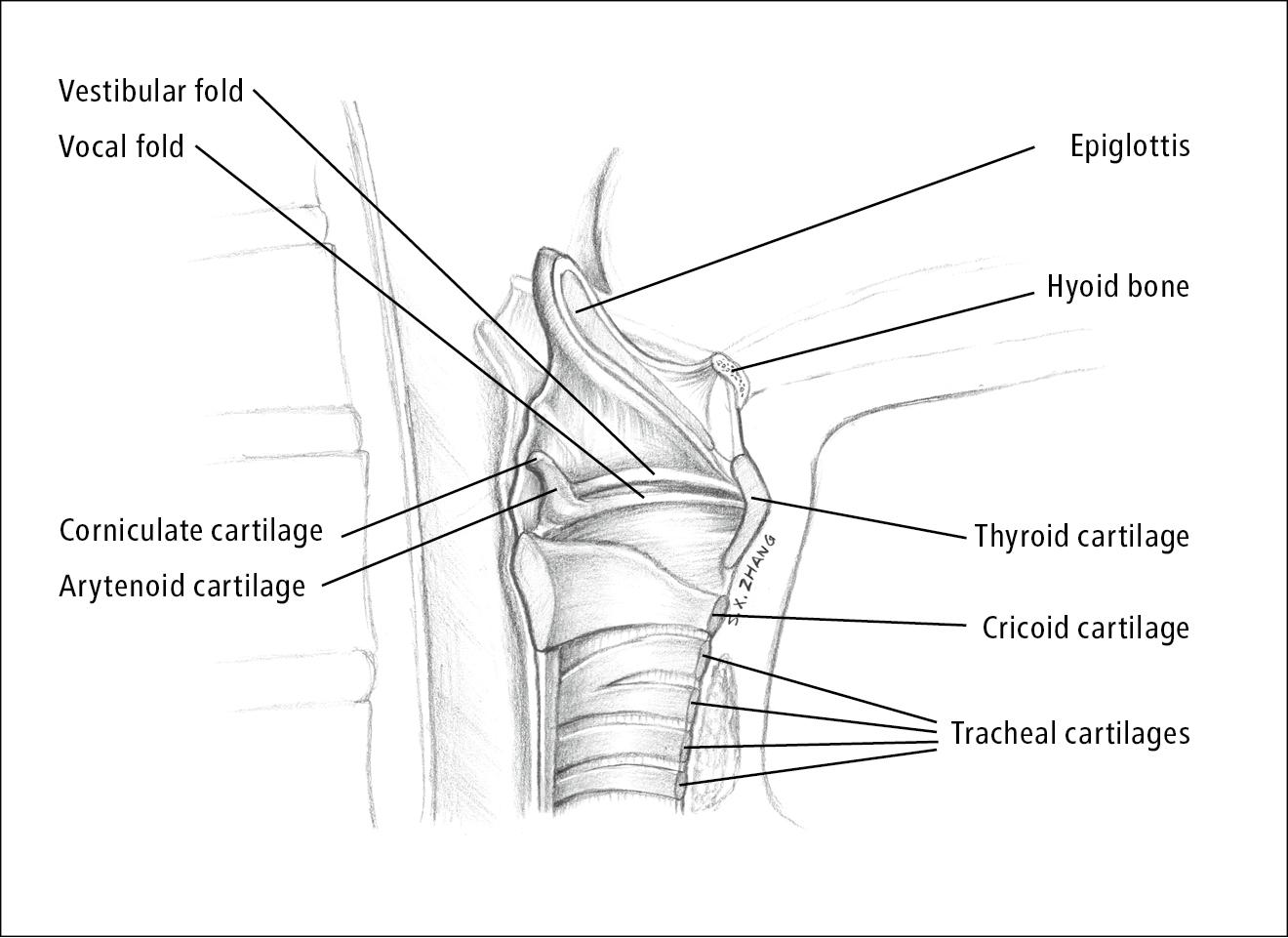 Figure 031_4_4000. Larynx anatomy. Illustration courtesy of Dr ...