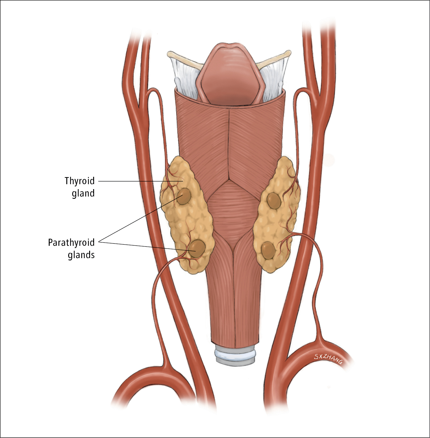Figure 031_4_4270.  Anatomy of the parathyroid gland (posterior view).  Illustration courtesy of Dr Shannon Zhang.