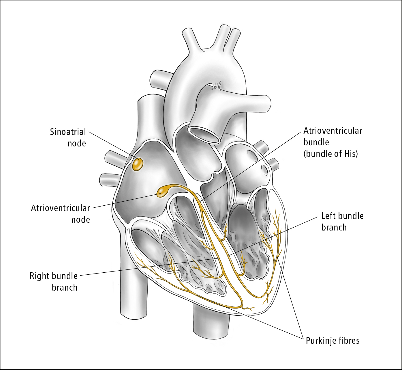 Figure 031_6254.  Cardiac conduction system.  Illustration courtesy of Dr Shannon Zhang.