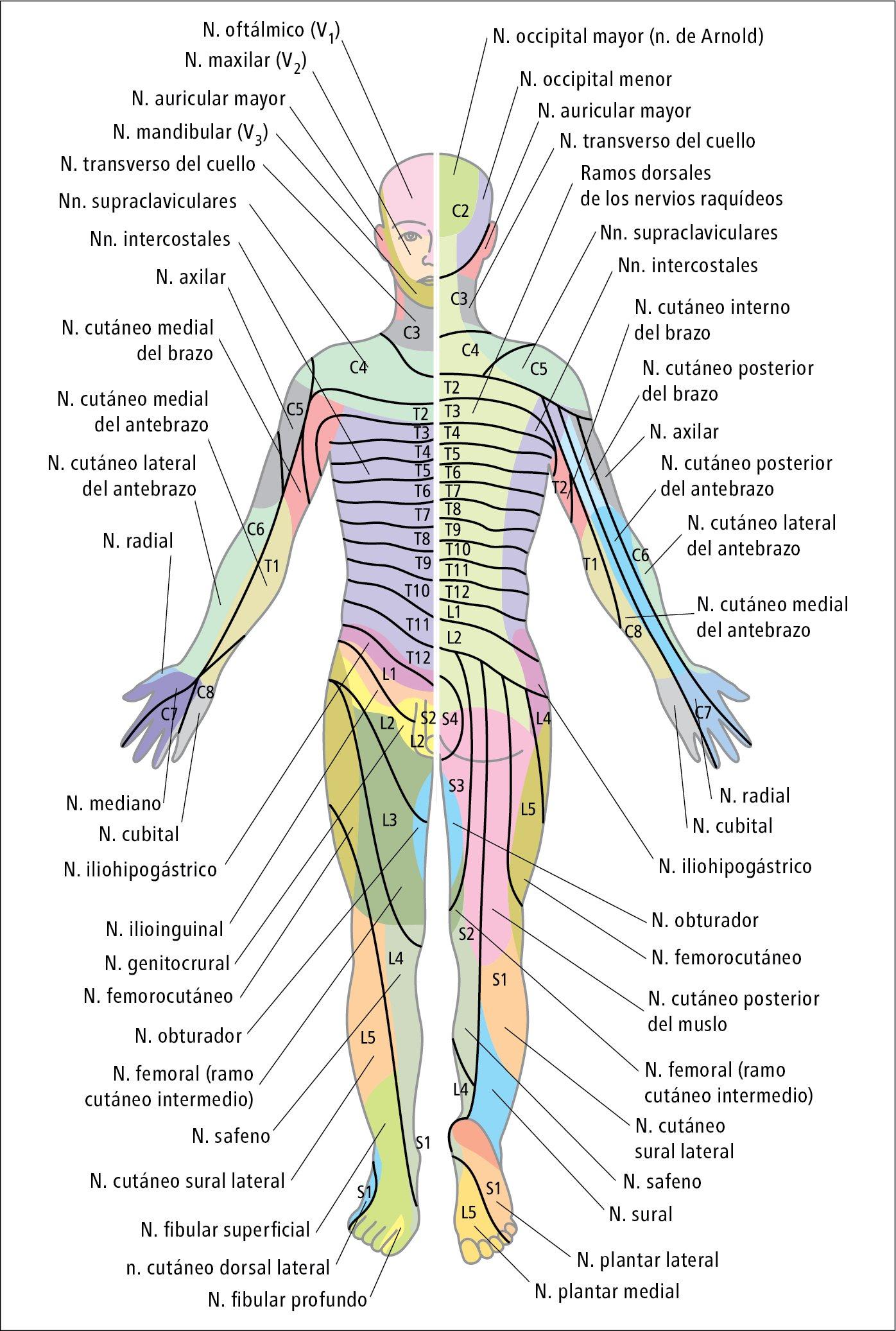 Sensibilidad, trastornos - Síntomas - Medicina Interna Basada en la ...