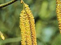 Pyłek leszczyny