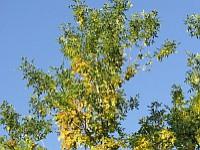 Pyłek jesionu