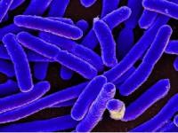 Biegunki wywołane przez patogenne szczepy <i>Escherichia coli</i>