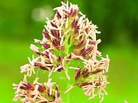 Alergia na pyłek traw