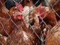 GIS: Ilości fipronilu wskażonych kurczakach nie zagrażają zdrowiu
