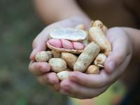 Wczesne wprowadzanie pokarmów alergizujących do diety aalergie ichoroby autoimmunizacyjne – czy istnieje związek?