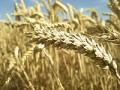 Alergia na pszenicę