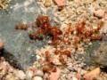 Uczulenie na jad mrówek